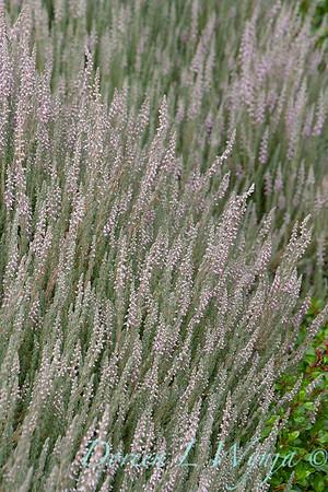 Calluna vulgaris 'Silver Knight'_0318