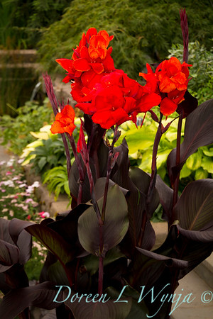 320 Canna generalis Tropical Bronze Scarlet_005