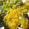 cluster of flowering Cassia fistula, golden rain tree