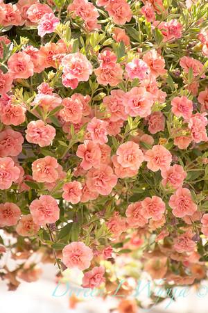 'Caloha Double Peach'; Calibrachoa
