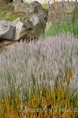 Calluna vulgaris 'Silver Knight' landscape_0322
