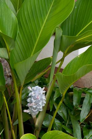 Calathea burle-marxii Ice Blue_012