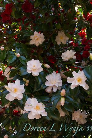 Camellia japonica 'Hagoromo'_1922