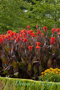 Canna_Red King Humbert_003