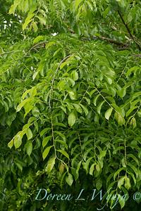 Carpinus caroliniana_2720