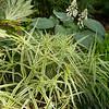 Carex phyllocephala 'Sparkler'_1884