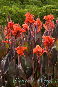 Canna_Red King Humbert_013