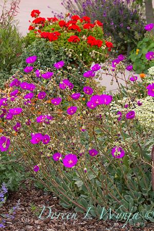 Calandrinia spectabilis - Pelargonium red geranium_7290