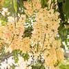 flowering, Cassia × nealiae 'Wilhelmina Tenney' Rainbow Shower Tree