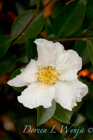 Camellia sasanqua Setsugekka_001