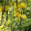 flowering Cassia fistula, golden rain tree with seed pods