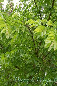Carpinus caroliniana_2726
