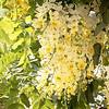 flowering Cassia x neliae 'Queen's Hospital White'