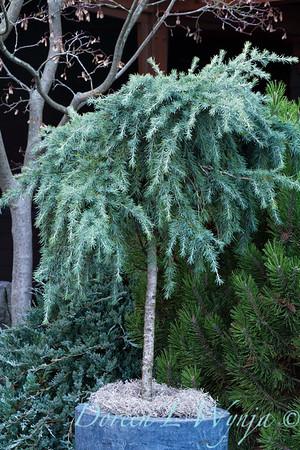 Cedrus deodara 'Feelin' Blue' patio tree_5135GAP