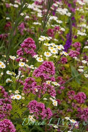 Centranthus ruber Red Valerian Cottage Garden_2569_Doreen L Wynja