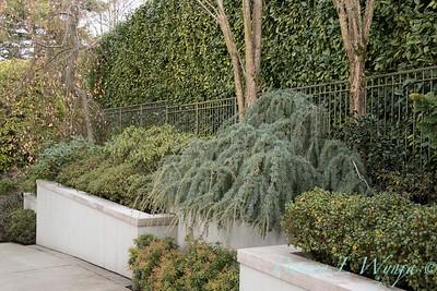 Cedrus atlantica 'Glauca Pendula' - Prunus laurocerasus hedge - shrub landscape_1016