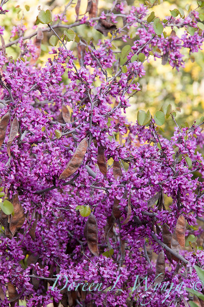 Cercis occidentalis 'Claremont'_4786M