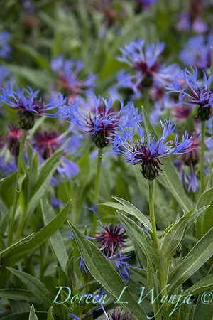 Centaurea montana_3057