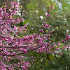 Cercis canadensis 'Forest Pansy'_0195