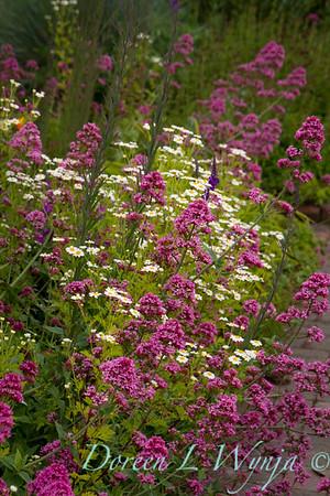 Centranthus ruber Red Valerian Cottage Garden_2565_Doreen L Wynja