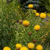 Centaurea macrocephala_3961