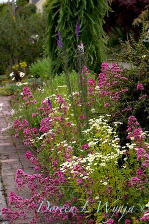Centranthus ruber Red Valerian Cottage Garden_2571_Doreen L Wynja