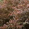 Cercis canadensis 'Forest Pansy'_8677