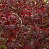 Cercis canadensis 'Forest Pansy'_0596M