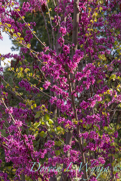 Cercis occidentalis 'Claremont'_4791M