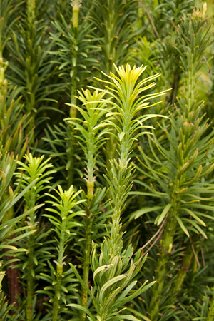 Cephalotaxus harringtonia Fastigiata_003