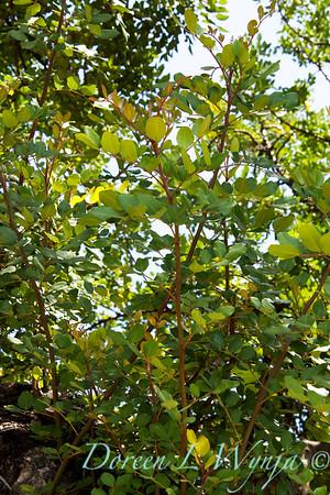 Ceratonia siliqua_004
