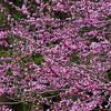 Cercis canadensis 'Forest Pansy'_0196