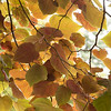 Cercis canadensis 'Forest Pansy'_8690