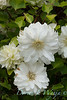 Clematis Duchess of Edinburgh_2440