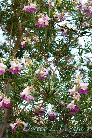 Chilopsis linearis Timeless Beauty_015