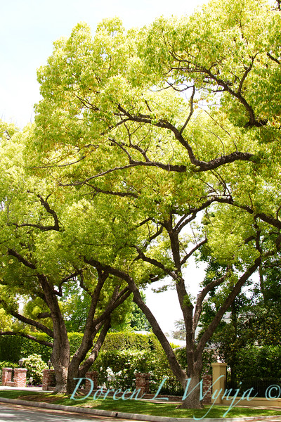 Cinnamomum camphora_003
