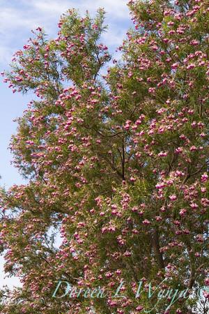 Chilopsis linearis 'Monhews' Timeless Beauty_838