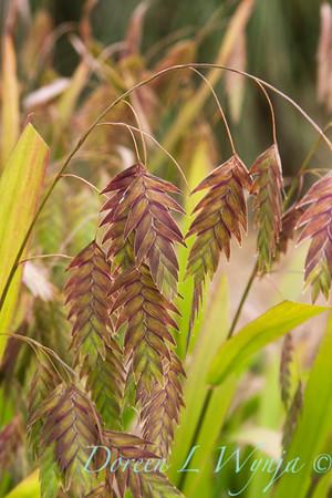 Chasmanthium latifolium_019