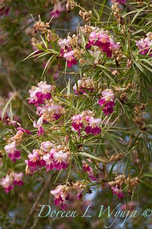 Chilopsis linearis 'Monhews' Timeless Beauty_841