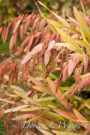 Chasmanthium latifolium_020