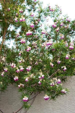 Chilopsis linearis Timeless Beauty_Doreen Wynja_002