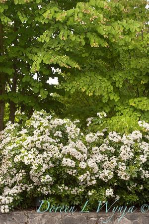 Choisya ternata 'Sundance' - Cercidiphyllum japonicum_6785