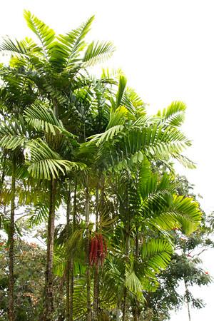 Chamaedorea oblongata_006