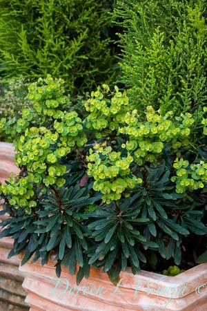 Euphorbia Blackbird_003