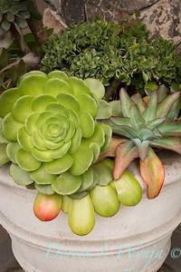Succulent container garden_6924