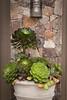 Succulent container garden_6920