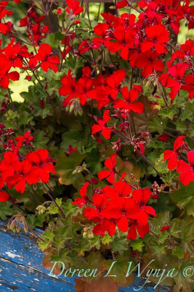 Pelargonium peltatum red geranium_3099