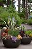 Aloe Agave succulent container garden_5532