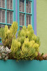 Succulent garden Window box_6853