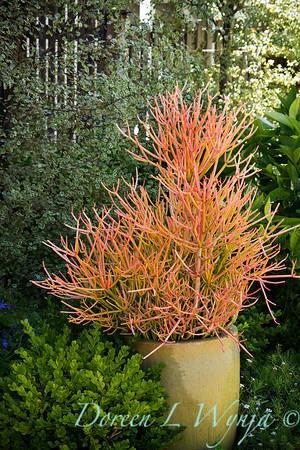 Euphorbia tirucalli Sticks on Fire_033